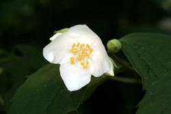 Pfeifenstrauch (Philadelphus coronarius)