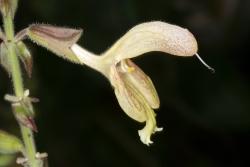 Klebriger Salbei (Salvia glutinosa)