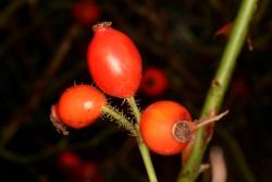 Heckenrose (Rosa canina) - Früchte