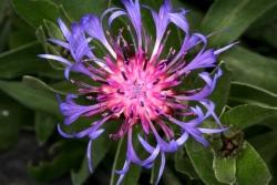 Bunte Flockenblume (Centaurea triumfetti)