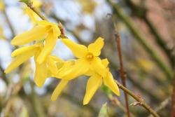 Goldflieder (Forsythia spec.)