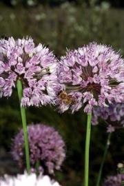Berg-Lauch (Allium montanum)