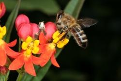 Curaçao-Seidenpflanze (Asclepias curassavica)