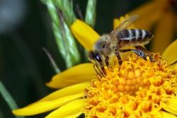 Arnika (Arnica montana) mit Honigbiene