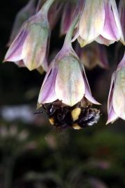 Bulgarischer Schmucklauch (Nectaroscordum siculum)