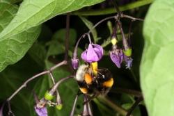 Bittersüßer Nachtschatten (Solanum dulcamara) mit Erdhummel