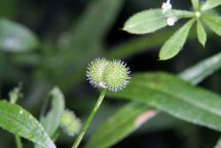 Klebkraut (Galium aparine)