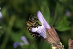 Dalmatiner Salbei (Salvia officinalis ssp. major)