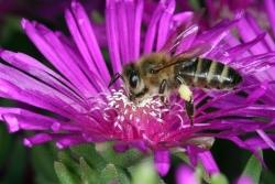 Mittagsblume (Delosperma cooperi)