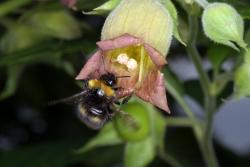 Tollkirsche (Atropa bella-donna)