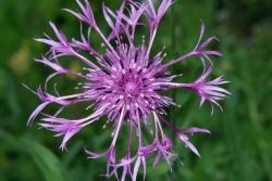 Skabiose-Flockenblume (Centaurea scabiosa)