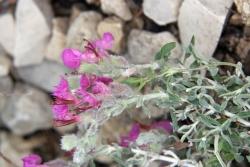 Katzengamander (Teucrium marum)