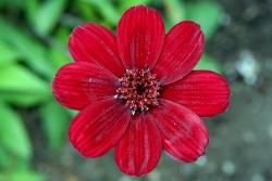 Schokoladenblume (Cosmos atrosanguineus)