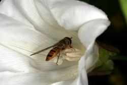 Echte Zaunwinde (Calystegia sepium) mit Schwebfliege