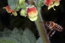Großblütige Braunwurz (Scrophularia grandiflora)  mit Honigbiene