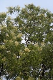 Japanischer Schnurbaum (Sophora japonica)
