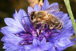 Kornblume (Centaurea cyanus) - Zuchtform - Honigbiene (Apis mellifera)