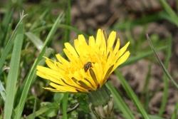 Gewöhnlicher Löwenzahn (Taraxacum officinalis)