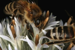 Griechische Kugeldistel (Echinops ritro)