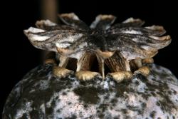 Schlafmohn (Papaver somniferum)