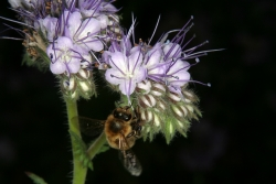 Büschelschön (Phacelia tanacetifolia)